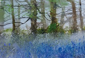 Bluebells Galore